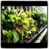 Vineyard Update